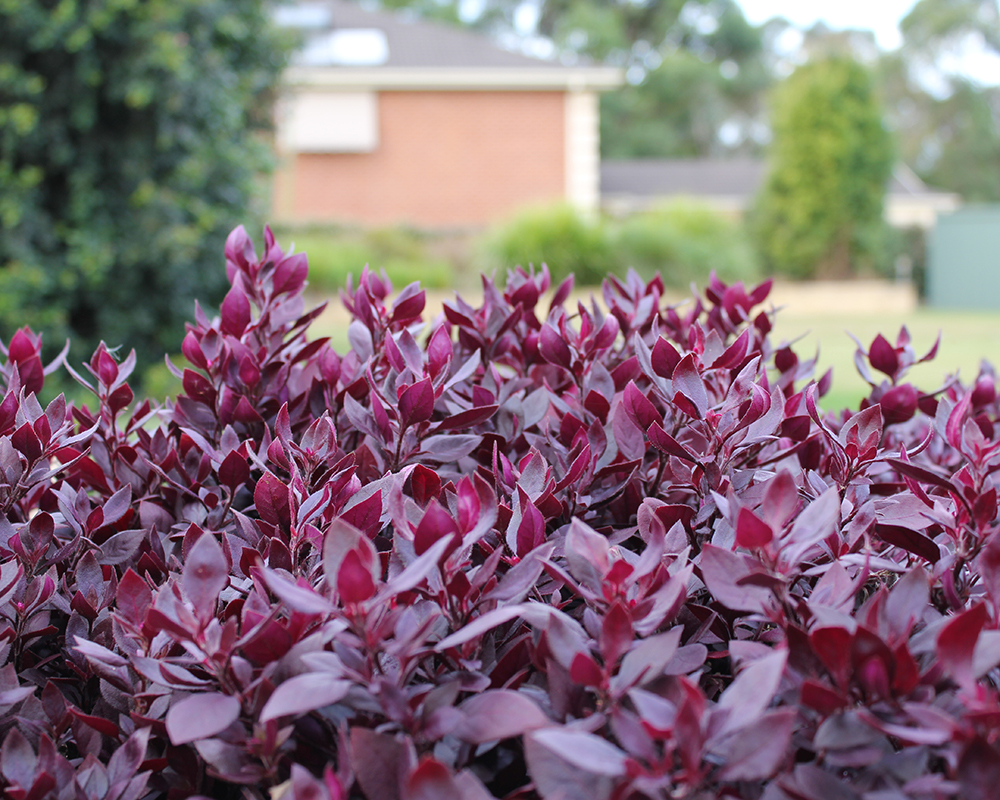 Coloured foliage plants thecheapjerseys Image collections